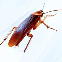 Tratamiento de cucarachas : Una plaga urbana difícil de combatir