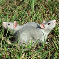 Servicios de Desratización: Control de roedores