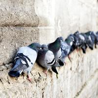 Control y prevención de palomas
